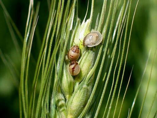 ۶۰ درصد زارعین آذربایجان غربی گندمکار هستند