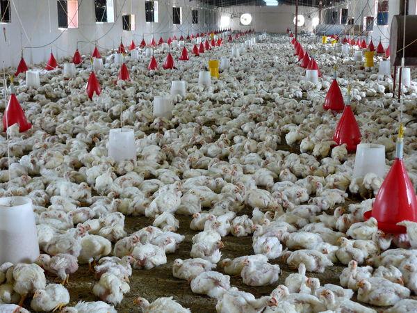 تولید سالانه 37 هزارتن گوشت سفید در سیستان وبلوچستان