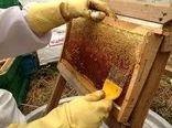 پیشبینی برداشت بیشاز ۱۲۰۰ تن عسل از زنبورستانهای اشنویه