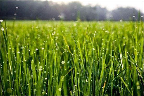 کشاورزان مناطق غربی این هفته محلولپاشی نکنند