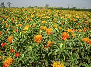 تولید بیش از 35 تن گیاه داروئی در سال در شهرستان سیرجان