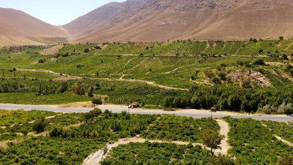 برداشت سالانه ۵۰ هزار تن انگور در چهارمحال و بختیاری