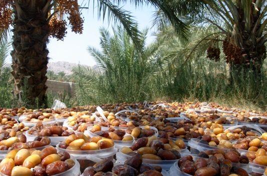 تولید 800 تن خرما در زرین دشت