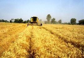 تولید بیش از ۱۲ هزار تن گندم در گیلان