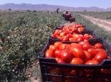 برداشت گوجه فرنگی از مزارع سرچهان شروع شد