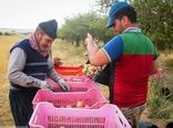 نرخ خرید سیب سمیرم اعلام شد