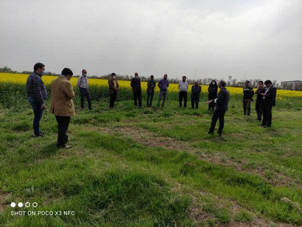 مدیریت کنترل علفهای هرز و بیماریهای کلزا در مزارع کشاورزی بررسی شد