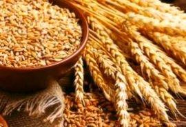 انعقاد قرارداد تولید گندم دوروم برای کارخانجات ماکارونی