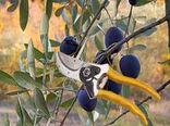 کارگاه آموزشی هرس درختان زیتون در شهرستان راور برگزار شد