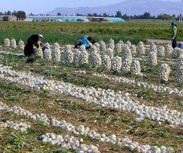 توزیع ۲۵تُن پیاز خریداری شده از جیرفت در خراسان شمالی