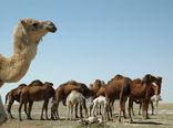 64 هزار نفر شتر در سیستان و بلوچستان پلاک کوبی شدند