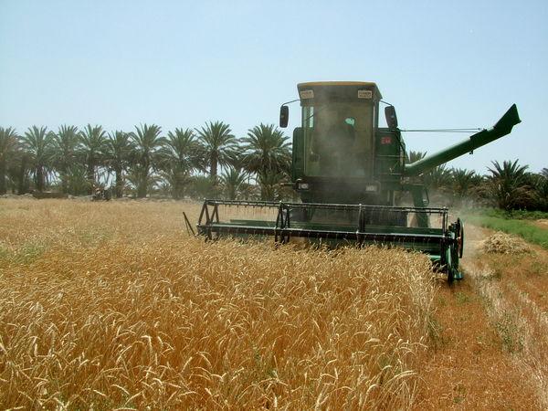 100 هزار تن گندم در سیستان و بلوچستان برداشت شد