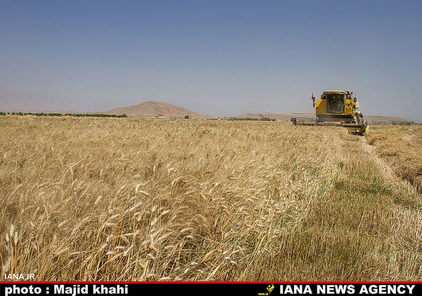 خرید۳۵۸ هزار تن گندم  در فارس