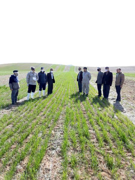 بازدید کارشناسان از پلت فرم آموزشی و ترویجی نظامهای زراعی گندم بنیان  در شهرستان آوج