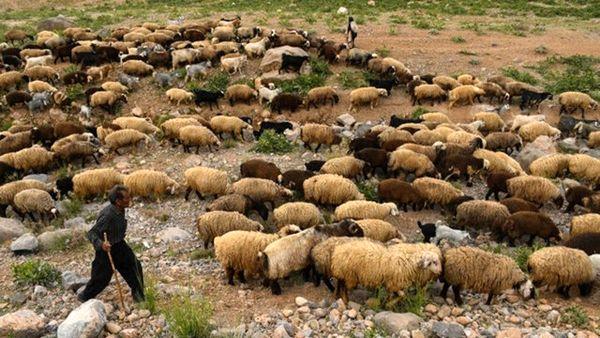 ۲۵ درصد از نهاده دام عشایر استان یارانه ای تامین میشود
