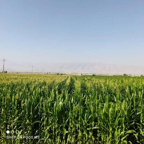 تامین ذرت علوفه ای اولویت کشاورزان شیرازی