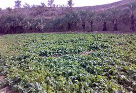 کشت دانه روغنی کلزا در 6 هزار هکتار از زمین های سیستان و بلوچستان آغاز شد
