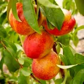 افزایش 130 درصدی تولید شلیل در باغات آذربایجان غربی