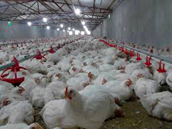 اشباع مرغ در بازار شب عید اصفهان