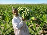 برداشت 85 هزارتن موز درسیستان وبلوچستان