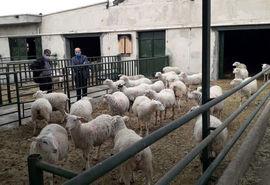 بهره برداری از مجتمع پرورش گوسفند مولد دانشگاه آزاد مراغه