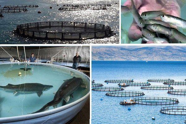 استان خوزستان در جایگاه نخست پرورش وتولید ماهی کشور