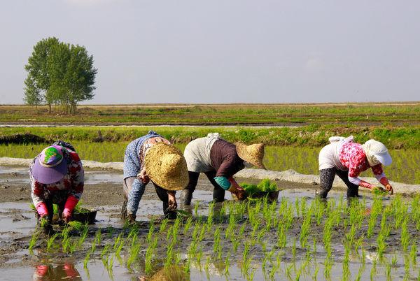 زنان کشاورز، گمنام و بیخبر از حقوق خود