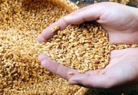 تامین و توزیع ۴۶ هزار تن بذر گواهی شده گندم در خوزستان