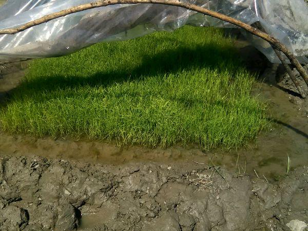 اولین نشاء کاری برنج در شهرستان تالش