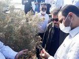 اجرای عملیات مبارزه با آفت ملخ صحرایی در 30 هزار و 700 هکتار از اراضی کشور