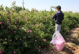 تولید 178 تن گل محمدی از 50 هکتار از باغات استان البرز