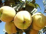 برداشت به از ۲۱۵ هکتار باغهای بارور شهرستان کاشان