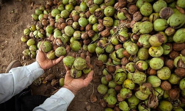 برداشت ۸ هزار تن گردو از باغات استان قزوین