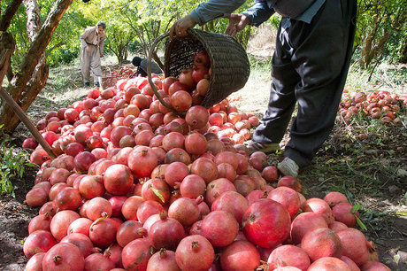 تولید ۳۰۵ هزار تن انار در استان فارس