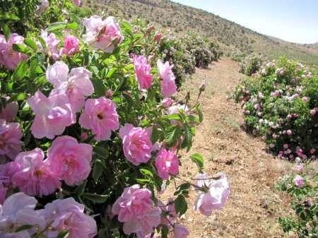 امسال 10 تن گل محمدی از گلستانهای میامی برداشت میشود