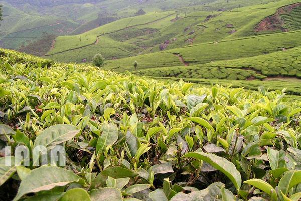 باغات بذری چای با هرس جوان ماندهاند