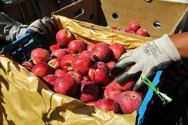 عضوگیری زنجیره صادرات سیب در استان تهران