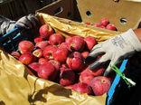 تامین و انبار 30هزار تن سیب درختی برای شب عید