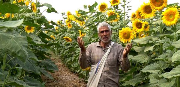 برداشت ۴۵۰ تن تخمه آفتابگردان از مزارع کشاورزی شاهین شهر و میمه