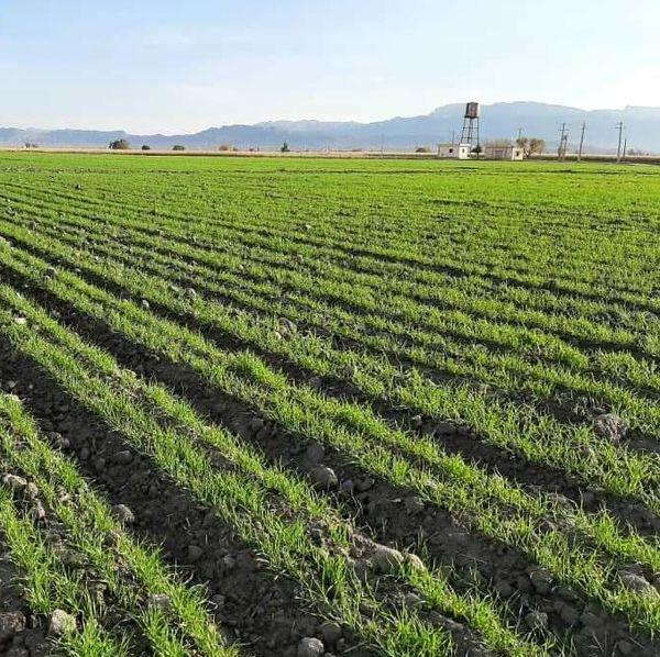 ۱۴۰ هکتار اراضی کشاورزی ملکشاهی زیر پوشش کشت آبی قرار می گیرد
