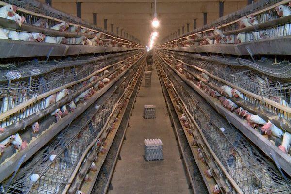 سرانه مصرف تخم مرغ در اصفهان پایین است