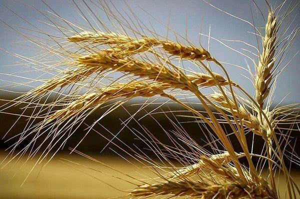 15 هزار تن گندم آبی و دیم از گندمزارهای شهرستان شهرکرد برداشت میشود