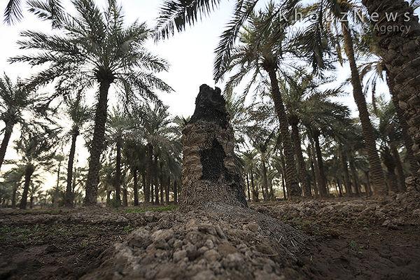 سایه آب شور بر سر نخلستانهای خوزستان