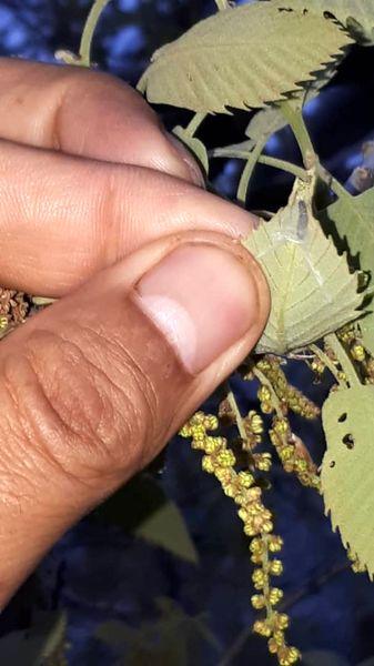 پایش و مبارزه بیولوژیک با آفات برگخوار و جوانهخوار بلوط در جنگلهای زاگرس