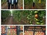 آغاز برداشت محصولات از گلخانههای ارسنجان