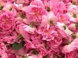 برداشت ۷۲۰ تن گل محمدی از گلستانهای شهرستان آران و بیدگل