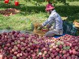 تنوعبخشی به ارقام و اصلاح و احیای باغات سیب در دستور کار وزارت جهاد کشاورزی