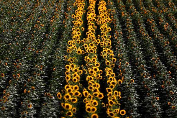 مزرعه گل آفتابگردان در پرتغال