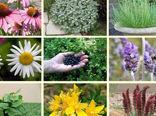 ۶ هزار و 408 هکتار سطح زیر کشت گیاهان دارویی در خراسان شمالی