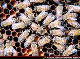 تولید بیش از 5600 تن عسل در مازندران